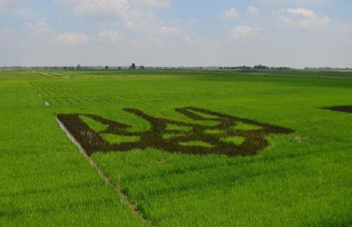 Лідером у вирощувані риса стала Херсонщина