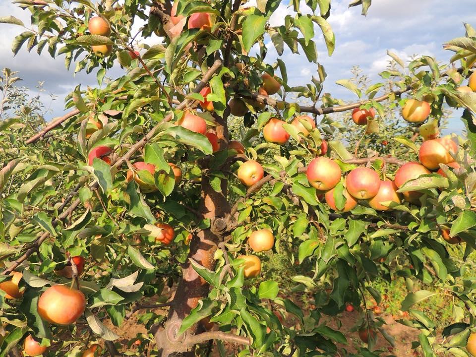 Яблочный рай возле Херсона: сюда едут и поработать, и отдохнуть