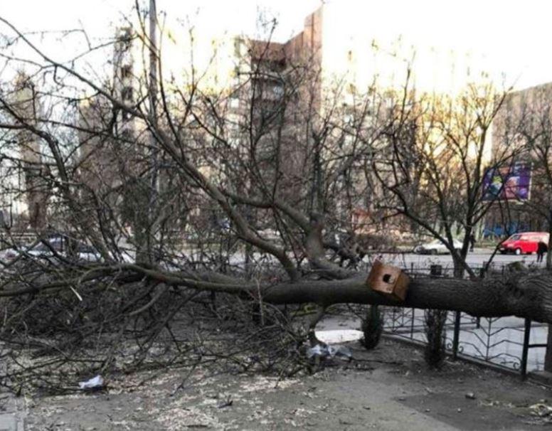 В Херсоне ради очередного МАФа уничтожили многолетнее дерево - ФОТО